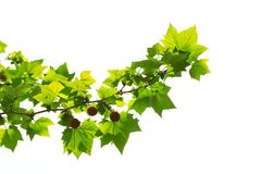 Young platan leaves and fruits Stock Image