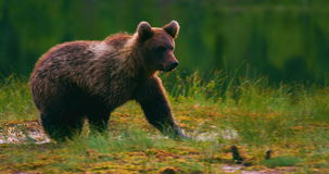 Young and playful brown bear cub running free in a swamp stock footage
