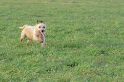A young, playful dog Jack Russell terrier runs on a meadow in autumn. Stock Photos