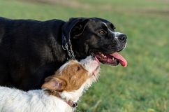 A young, playful dog Jack Russell terrier runs meadow in autumn with another big dog. Stock Photo