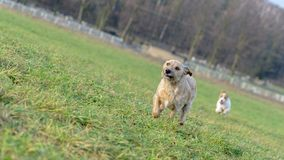 A young, playful dog Jack Russell terrier runs meadow in autumn with another big black dog. A young, playful dog Jack Russell terrier runs meadow in autumn with Royalty Free Stock Images