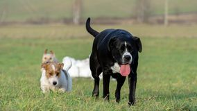 A young, playful dog Jack Russell terrier runs meadow in autumn with another big dog. Royalty Free Stock Images