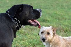 A young, playful dog Jack Russell terrier runs meadow in autumn with another big black dog. A young, playful dog Jack Russell terrier runs meadow in autumn with Stock Image