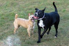 A young, playful dog Jack Russell terrier runs meadow in autumn with another big black dog. royalty free stock image
