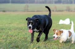 A young, playful dog Jack Russell terrier runs meadow in autumn with another big dog. Stock Image