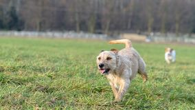 A young, playful dog Jack Russell terrier runs on a meadow in autumn. Royalty Free Stock Photos