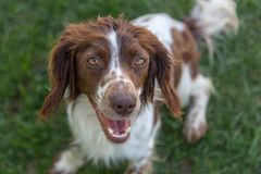 Young, playful springer spaniel excitedly waiting to play fetch stock photo
