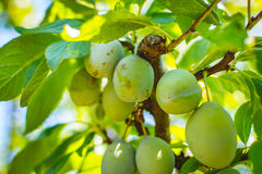 Young plum tree fruit - Organic healthy food from the nature. Plums are a good choice for beginner gardeners who want to grow fruit trees. Plum trees are widely Royalty Free Stock Photos