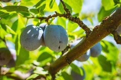 Young plum tree fruit - Organic healthy food from the nature. Plums are a good choice for beginner gardeners who want to grow fruit trees. Plum trees are widely Stock Photo