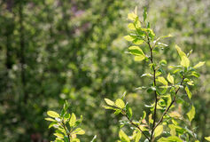 Young plum tree. In sun light in spring stock photo