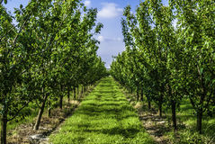 Young plum trees in a raw. Planted plum trees in orchard stock photography