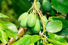 Young plums on tree. Stock Image