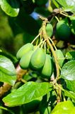 Young plums on tree. Royalty Free Stock Image