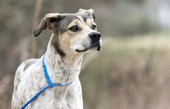 Free Young Pointer Mix Breed Puppy Dog Outside On Leash Sniffing The Air Stock Images - 170931544