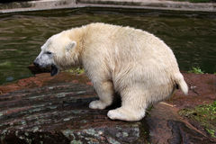 Young Polar Bear Stock Image