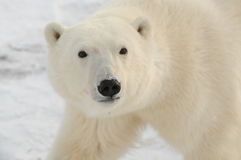 A Young Polar bear royalty free stock photo