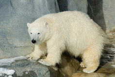 Young polar bear Royalty Free Stock Images