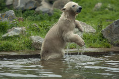 A young polar bear goes swimming Royalty Free Stock Photography