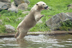 A young polar bear jumps into the water Stock Image