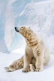 Young polar bear looking around Royalty Free Stock Photos