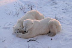 A Young Polar Bear With Mom. A young wild polar bear with mom in Churchill   resting early in the morning Stock Photos
