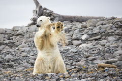 Young Polar Bear Playing Royalty Free Stock Images