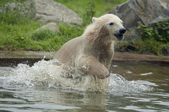 A young polar bear run into the water Royalty Free Stock Photography