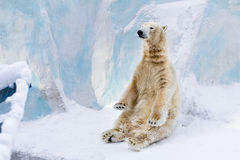 Young polar bear sitting. Sunny day Stock Images