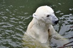 A young polar bear is swimming in the water. A young polar bear is swimming in the water royalty free stock photo
