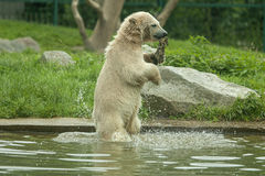 A young polar bear takes a piece of wood out of the water Stock Images