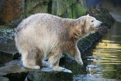 Young polar bear Royalty Free Stock Images
