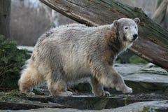 Young polar bear Royalty Free Stock Photography