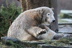 Young polar bear Royalty Free Stock Photos