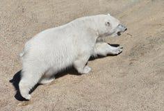 Young polar bear Ursus maritimus. Finnish Lapland. Summer, heat. Young polar bear Ursus maritimus. Finnish Lapland. Summer stock images
