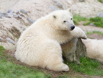 Young polarbear resting Royalty Free Stock Photo