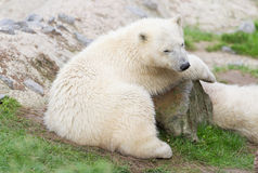 Young polarbear resting Royalty Free Stock Photography