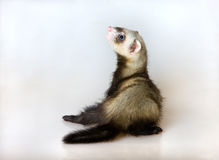 Young polecat. Portrait of a young polecat on a light background stock image