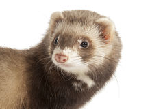 Young polecat. Isolated over white royalty free stock photography