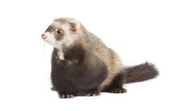 Young polecat. Isolated over white stock photos
