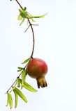 Young Pomegranate Royalty Free Stock Images