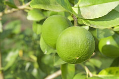 Young pomelo Royalty Free Stock Image