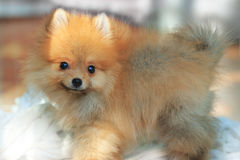 Young pomeranian dog Stock Photos