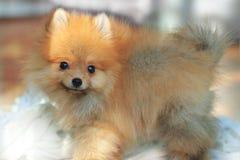 Young pomeranian dog Stock Photos