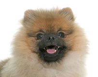 Young pomeranian dog Stock Images