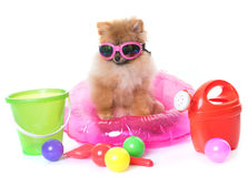 Young pomeranian dog Royalty Free Stock Image