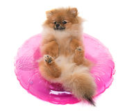 Young pomeranian dog Royalty Free Stock Images