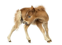 Young poney, foal scratching against white background Stock Photos