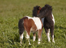 Young Ponies Stock Photos