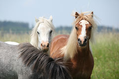 Young ponnies on pasturage Royalty Free Stock Photo