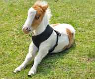 Young pony Royalty Free Stock Photos
